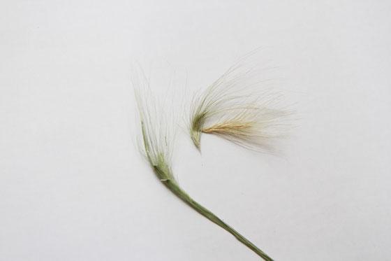雑草(麦)