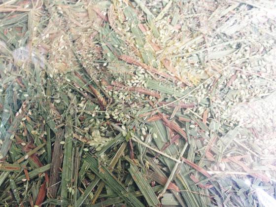 うさチモ3雑草種